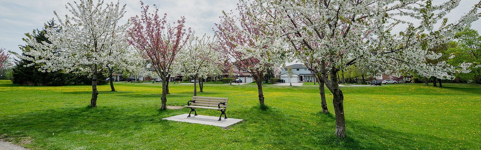Maintained lawn with several white and pink blooming trees behind a beige park bench.